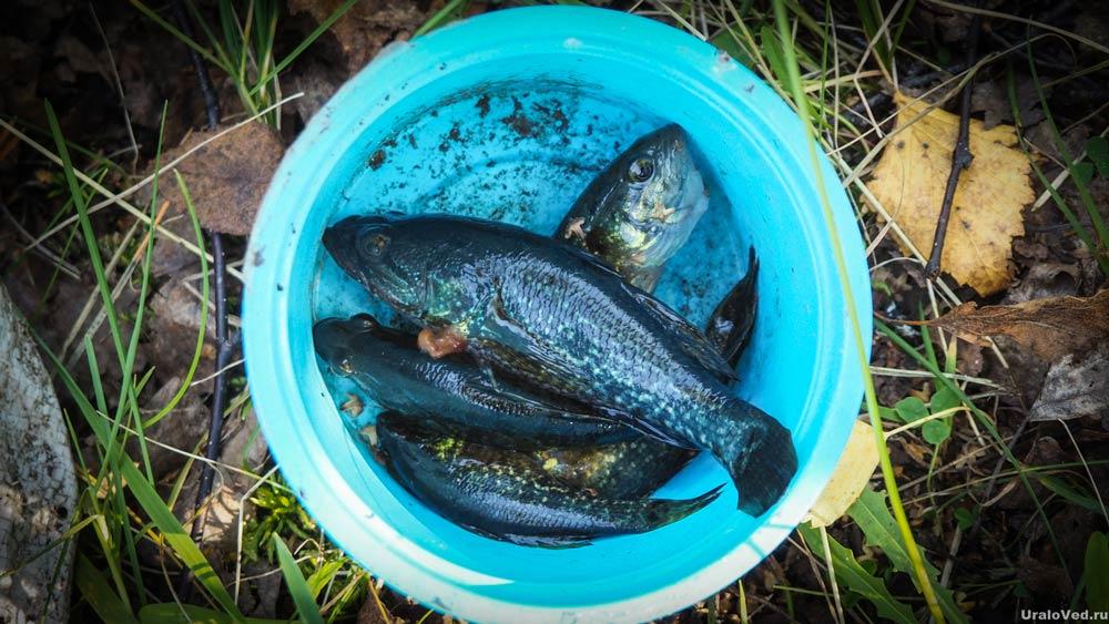 Рыба ротан из озера Чёрное
